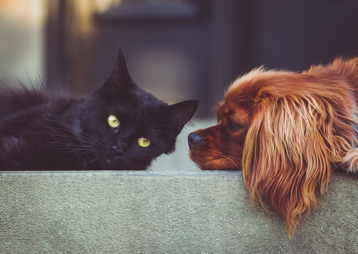 Chien & chat